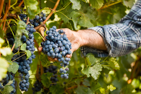 bio food: Grapes harvest in vineyard, close up Stock Photo