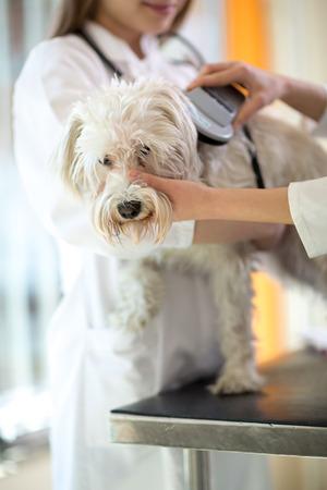 identifier: Veterinarian checking microchip implant on Maltese dog in vet clinic