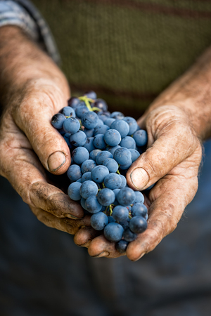 wine grower: Farmers hands with cluster of grapes, farming and winemaking concept Stock Photo