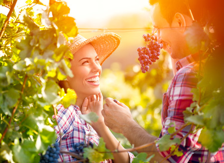 Smiling love couple in vineyard eating grapes while harvest time Imagens