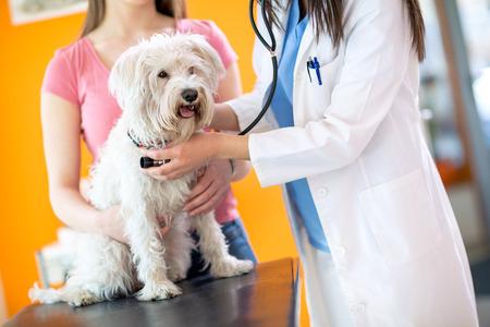 Vétérinaire vérifiant le haut de chien maltais malade avec un stéthoscope en clinique vétérinaire Banque d'images