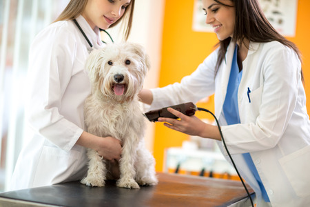 intervention: Veterinarians shaving sick Maltese dog and preparing for intervention Stock Photo