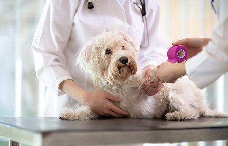 wound care: Sad little Maltese dog with broken paw in vet infirmary Stock Photo