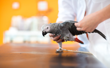 diagnosing: Examination of wings of sick African gray parrot and diagnosing illness in vet clinic Stock Photo