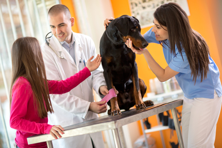 pet therapy: Veterinarians bandaging leg of injured Great Done dog and comforting him in vet infirmary