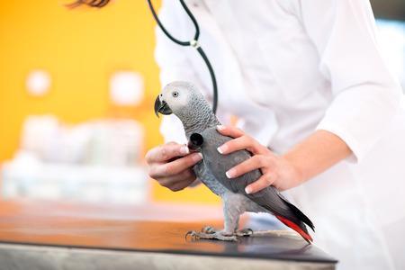 loro: Examen médico del loro gris africano con el estetoscopio en la clínica veterinaria