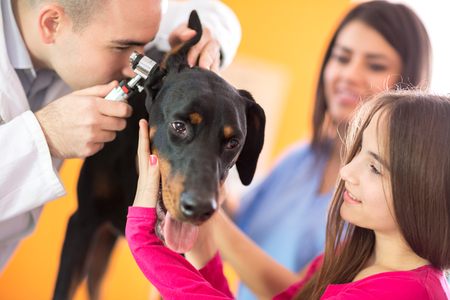 veterinary care: Hearing checkup of Great Done dog by veterinarians in vet infirmary Stock Photo