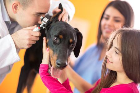 veterinarian: Hearing checkup of Great Done dog by veterinarians in vet infirmary Stock Photo