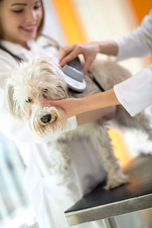 Identifying microchip implant sad lost Maltese dog by veterinarians in vet clinic Stock Photo