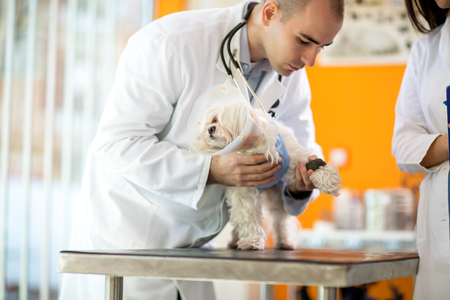 ambulant: Pekinese with protective cone receiving bandage for hurt paw