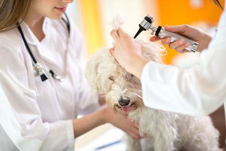 Hearing checkup of Maltese dog by veterinarians in vet infirmary 스톡 콘텐츠