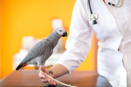Zieke Afrikaanse grijze papegaai op de hand van de arts bij dierenarts kliniek