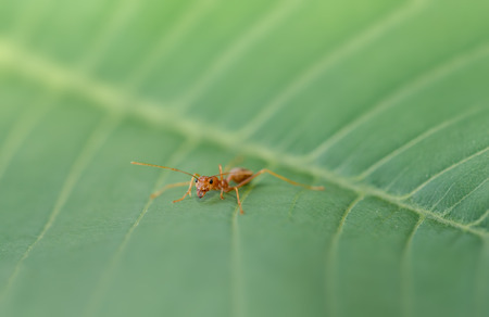 hormiga hoja: hormiga roja en la hoja verde en la naturaleza