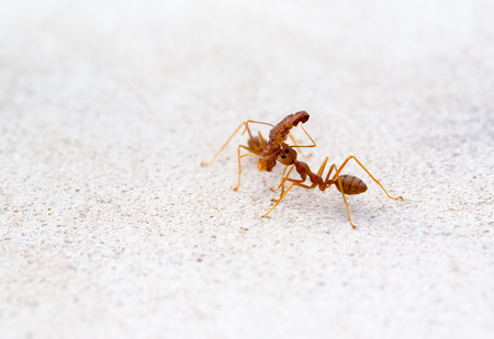 aggressor: Red ant lifting of large pieces