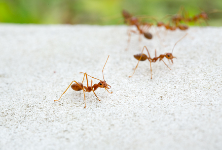 aggressor: red ants on the ground close-up