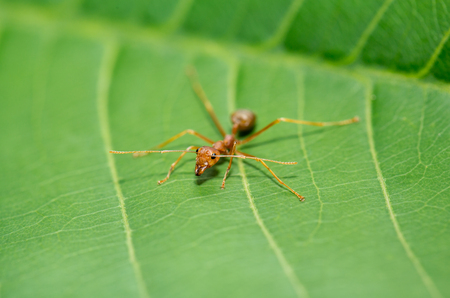 aggressor: little red ant on green leaf in nature