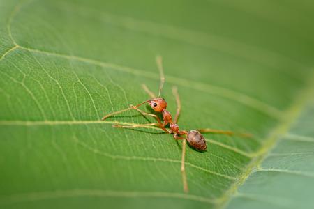 hormiga hoja: cerrar hormiga roja en la hoja verde en la naturaleza Foto de archivo