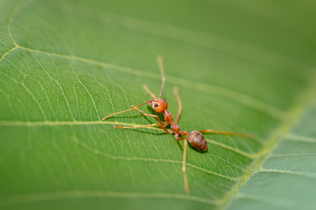 aggressor: close up red ant on green leaf in nature Stock Photo