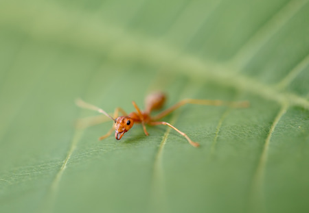 aggressor: ant on green leaf in nature Stock Photo