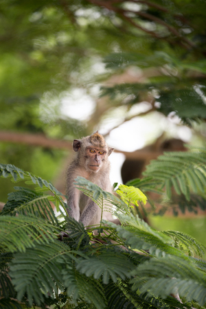 biped: Monkey  in tropical forest, animal and wildlife