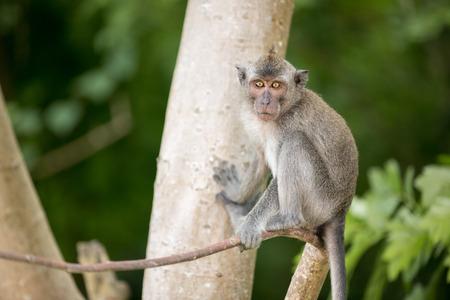monkey on a tree: Grey monkey on tree looking at camera