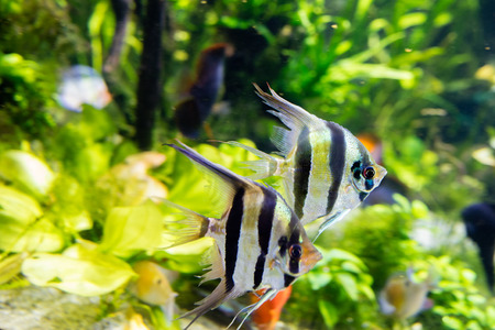 scalare: Angelfish Pterophyllum scalare in aquarium Stock Photo