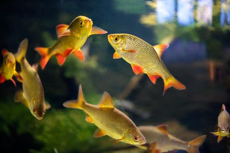tetra fish: fish bloodfin tetra tropical aquarium Stock Photo