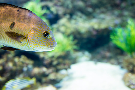cichlid: Central American fish cichlid in the aquarium Stock Photo