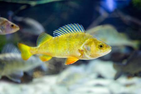 cute little yellow fish in aquarium