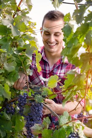 grower: farmer  vine grower picking grapes