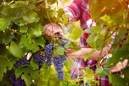 grape vines: farmer male hands picking grape, grapes harvest