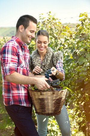 Couple of farmers harvesting grapes in a vineyard Stock Photo