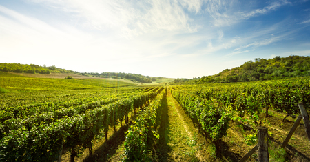 Vineyard, nature landscape
