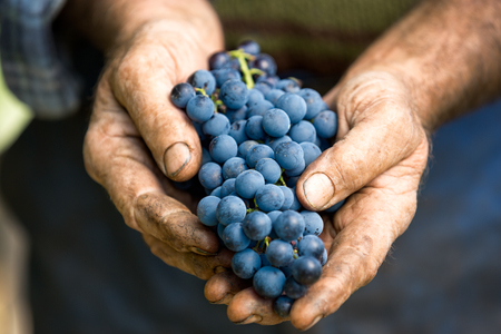 wine grower: Hand holding fresh bunch of grapes in the vineyard Stock Photo