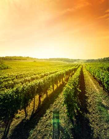 Beautiful landscape of vineyard, nature composition Imagens - 61947344