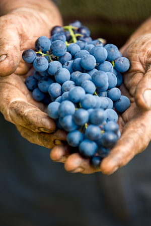 wine grower: Hands holding a bunch of grapes, close up