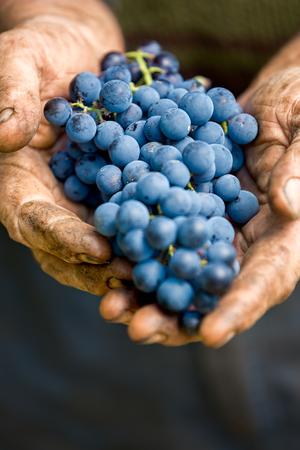 uvas: Manos sosteniendo un racimo de uvas, de cerca