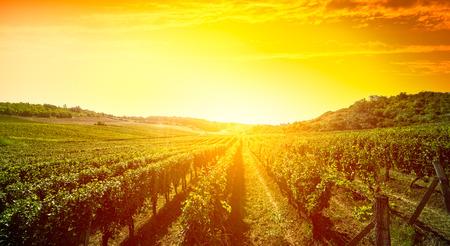 Wijngaard, natuur landschap