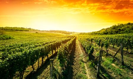 Prachtige zonsondergang over groene wijngaard Stockfoto