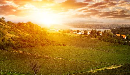 grape field: Hills with vineyard  - grape field