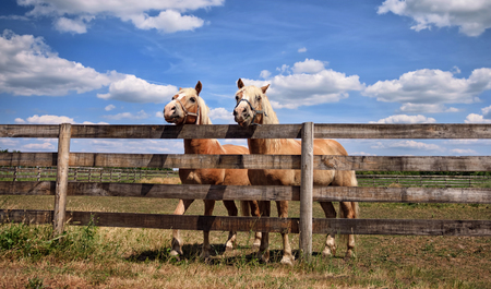 piebald: Two beautiful horses over a fence on farm Stock Photo