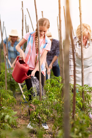organically: Family cultivate organically grown tomatoes in garden