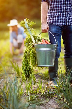 Freshly picked carrots in metallic bucket in farmer's hands