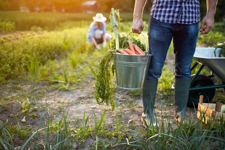 Carrots from garden in metallic bucket in farmer?s hands, close up Banque d'images