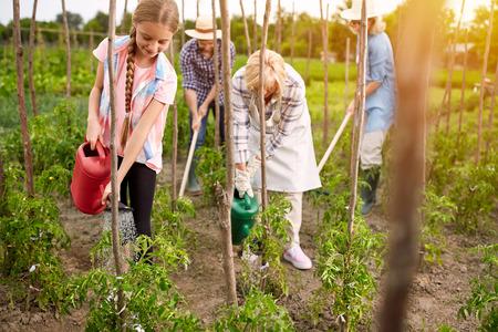 diligente: Diligentes regar las plantas de semillero de la familia rural de tomates