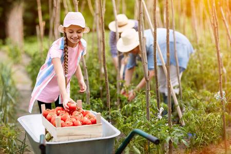 Girl helps in season of picking tomatoes in garden