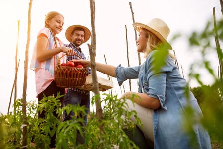 Meisje met ouders houden mand vol volwassen organische tomaten in de tuin Stockfoto