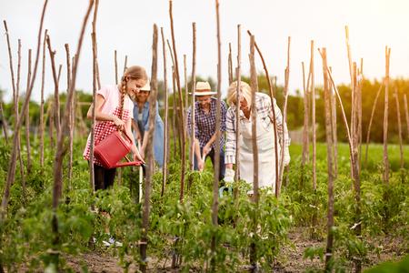 diligente: familia diligente trabajo en el jardín en la temporada de la cosecha de tomates Foto de archivo