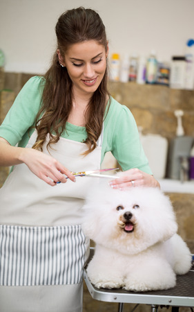 professional haircut with scissors  bichon frise Stock Photo