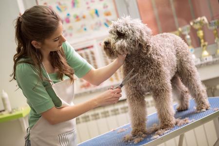 secador de pelo: preparación del animal doméstico con el peinado hecho tijeras Foto de archivo